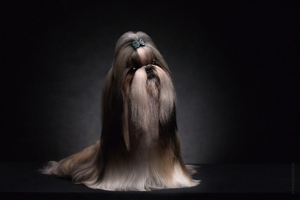 Ши-тцу́ | Shih tzu | Shen De Lux Dolce Vita | Фотосъемка собак в студии